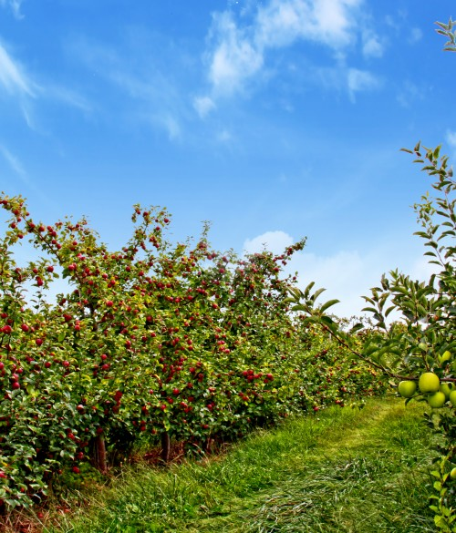 orchard_IMG_0382_2apples